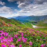 Magic pink rhododendron flowers in mountain Royalty Free Stock Photos