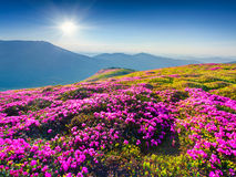 Magic pink rhododendron flowers in mountains. Stock Image
