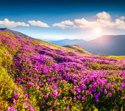 Magic pink rhododendron flowers in mountains. Stock Photo