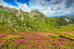 Magic pink rhododendron flowers in the mountains,Ciucas,Carpathians,Romania Stock Photography