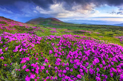 Magic pink rhododendron flowers in the mountains stock photography