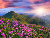 Magic pink rhododendron flowers in the mountains Royalty Free Stock Image