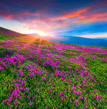 Magic pink rhododendron flowers in the mountains. Summer sunrise Stock Image