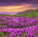 Magic pink rhododendron flowers in the mountains. Royalty Free Stock Images