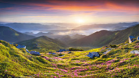 Magic pink rhododendron flowers in the mountains. royalty free stock photo