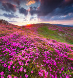 Magic pink rhododendron flowers in mountains. Summer sunrise Stock Image