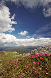 Magic pink rhododendron flowers in the mountains royalty free stock photography