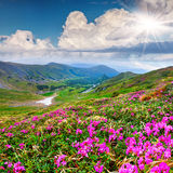 Magic pink rhododendron flowers in the summer mountain Royalty Free Stock Image