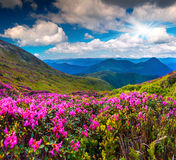 Magic pink rhododendron flowers stock photography