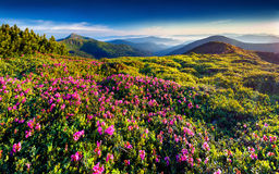 Magic pink rhododendron flowers royalty free stock photos
