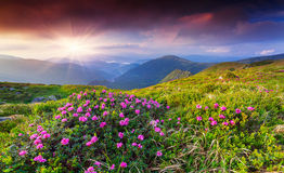 Magic pink rhododendron flowers in the summer mountain. Royalty Free Stock Photos