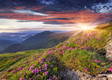 Magic pink rhododendron flowers in the summer mountain. Stock Photo