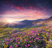Magic pink rhododendron flowers in the summer mountain. Royalty Free Stock Photography