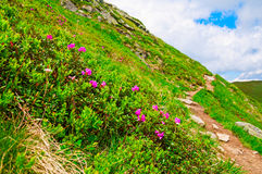 Magic pink rhododendron flowers on summer mountain. royalty free stock photography
