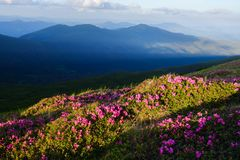 Magic pink rhododendron royalty free stock photos