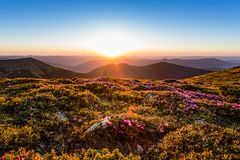 Magic pink rhododendron flowers on summer mountain royalty free stock photography