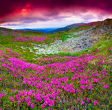 Magic pink rhododendron flowers under red dramatic sky. Stock Image