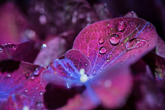 Magic purple violet hortensia hydrangea macro with water drops Stock Images