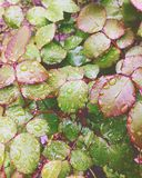 Magic raindrops on green leaves of roses Royalty Free Stock Images