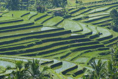 Magic rice fields in central bali, indonesia Stock Image