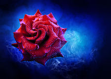 Magic rose Stock Image