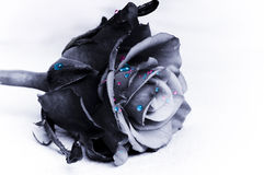 Magic rose. A black gothic rose with contrasting blue and pink drops of water like a magic, spiritual and artistic concept Stock Photography