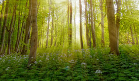 Magic scenic forest of fresh green deciduous trees with the sun casting its rays of light through the foliage. Royalty Free Stock Photo