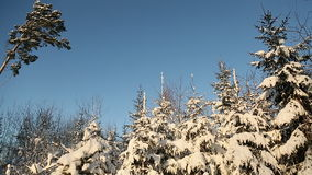 Magic snowy forest trees in lush snow. Christmas Christmas mood. stock footage