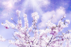 Magic spring. Cherry tree in bloom over mystic background like a concept of magic spring Stock Image