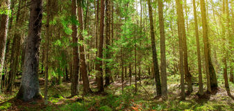 Magic spring forest with sun rays Royalty Free Stock Photography