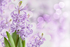 Magic spring hyacinth garden. Magic flowers spring hyacinth garden with blurs background Royalty Free Stock Image