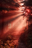 Magic sun rays in morning forest Stock Images