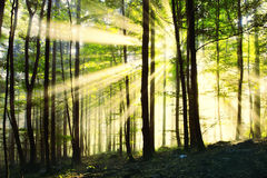 Magic sunny morning forest Stock Images