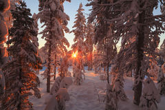 Magic sunrise in the  forest Royalty Free Stock Photo