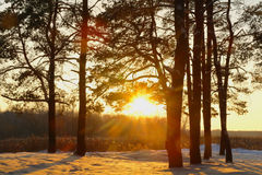Magic sunrise in the  forest Royalty Free Stock Image