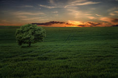 Magic sunset. Lonely tree on the field Royalty Free Stock Photo