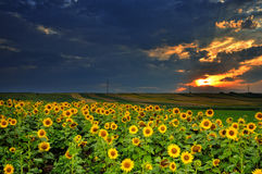 Magic sunset over sun flowers field Stock Image