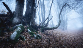 Magic tree in mysterious autumn forest in blue fog Stock Photography