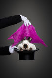 Magic trick with the rabbit Royalty Free Stock Photos