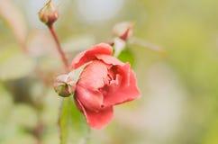Magic  vintage rose Royalty Free Stock Images