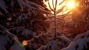 Magic winter forest covered by snow at sunset. Silence wild nature. High trees on the mountain hills covered with snow at sunrise in the morning. Winter stock footage