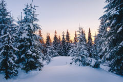 Magic winter forest covered at sunset Stock Photography
