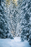 Magic winter forest covered at sunset Royalty Free Stock Images