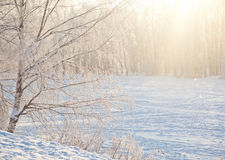 Magic winter forest Stock Image