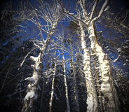 Magic winter trees shooting fromthe low point. Stock Images