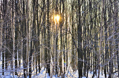 Magic winter forest Royalty Free Stock Image