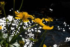 Yellow flower of swamp - Slovakia royalty free stock photography
