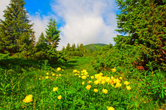 Magic yellow flowers on summer mountain. Dramatic overcast sky. Stock Photo