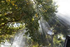 Magical Beams of Light. Shine through the canopy of a trees Royalty Free Stock Images