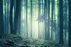 Magical blue green saturated foggy forest landscape Royalty Free Stock Image